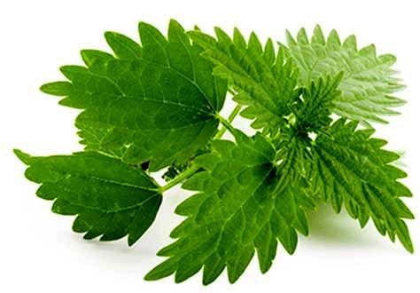 معرفی گیاه مفید گزنه  Nettle