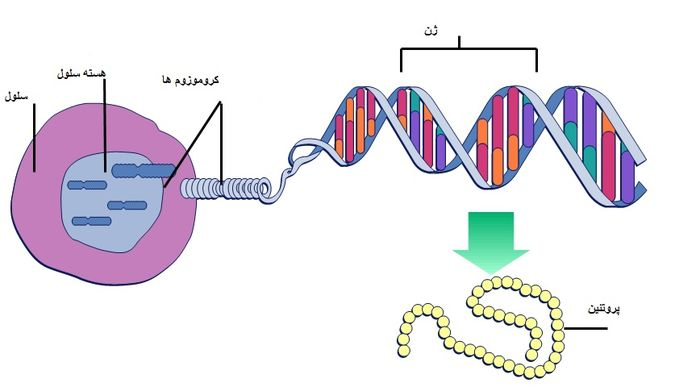 ژن های وراثتی چیستند ؟