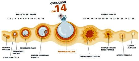 از اهمیت زمان تخمک گذاری آگاه شوید