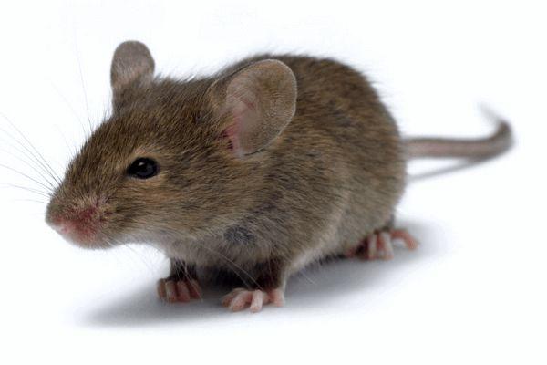 انواع روش های مبارزه با موش