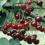 میوه هایی که خاصیت مسهل دارند