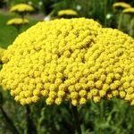 گیاه بومادران دارای چه خواصی است ؟