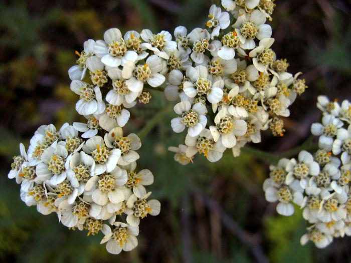 نکات مهم در استفاده از گیاه بومادران